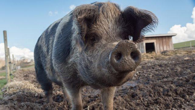 Чумазая свинья во дворе фермы