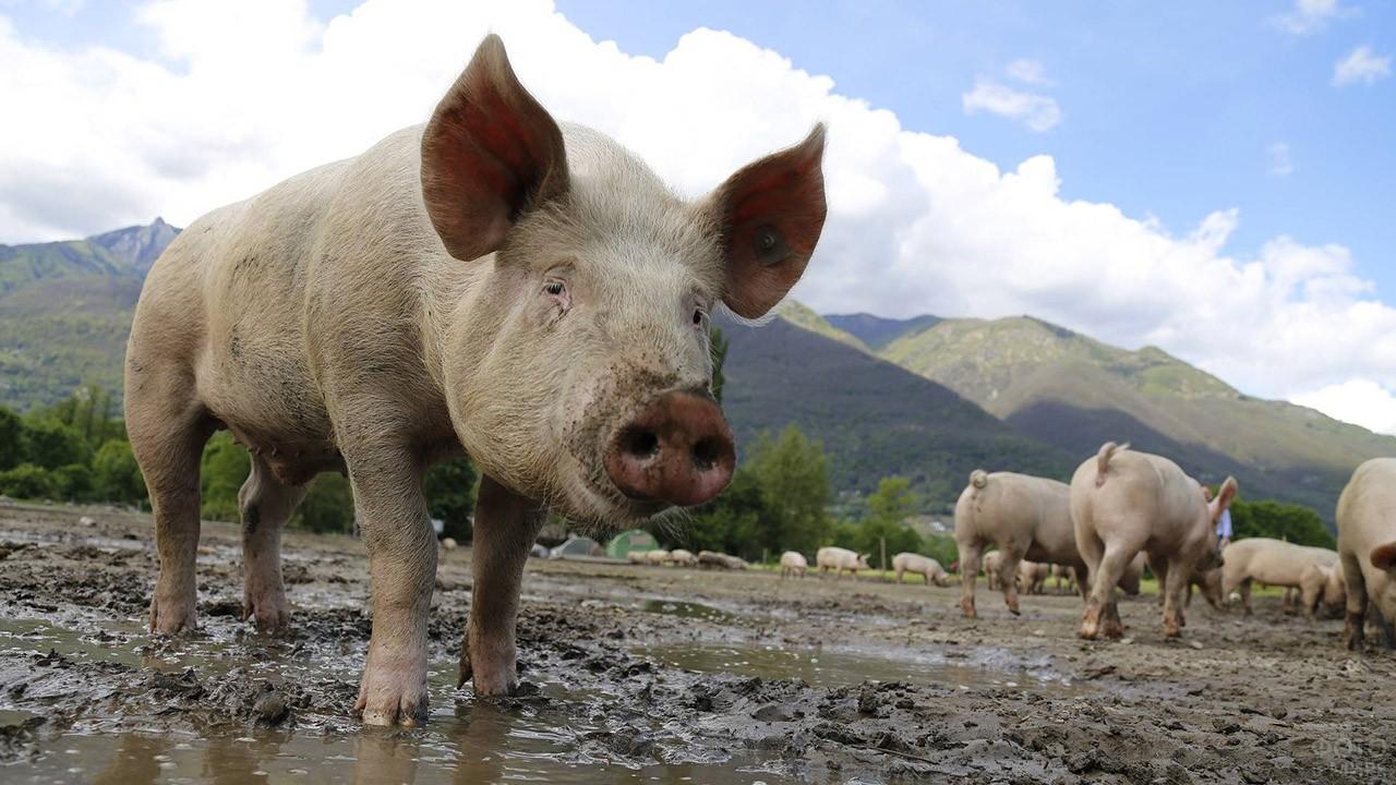 Чумазый свин в луже