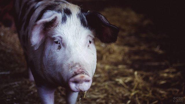 Домашняя пятнистая свинья