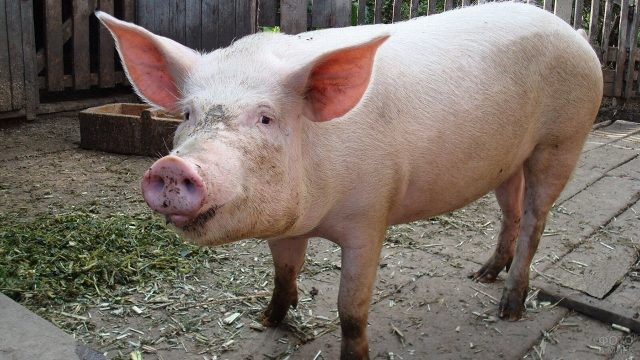 Домашняя свинья во дворе дома