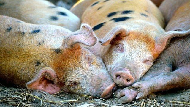 Дрыхнущие вповалку свиньи