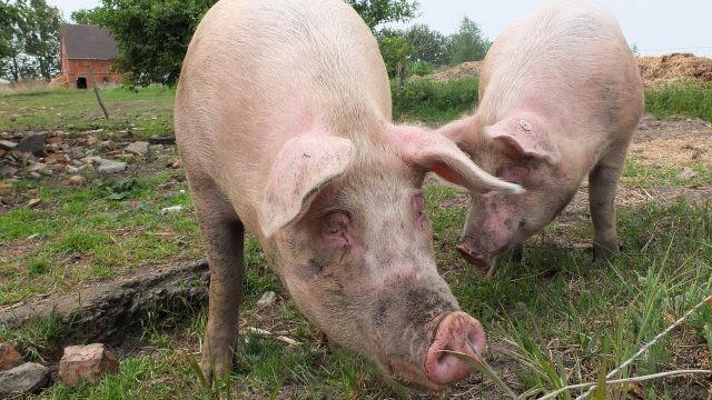 Две свиньи пасутся на траве