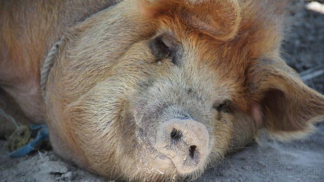 Голова мохнатой рыжей свиньи