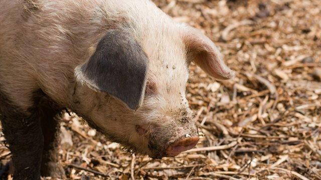 Голова свиньи с испачканным пятачком