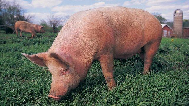 Холёная свинка на лужайке