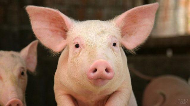 Любопытная лопоухая свинка