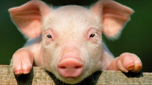 Маленькая свинка выглядывает из-за ограждения