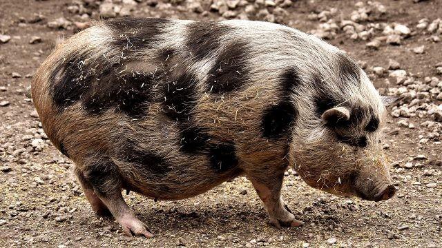 Миниатюрная жесткошёрстная свинка