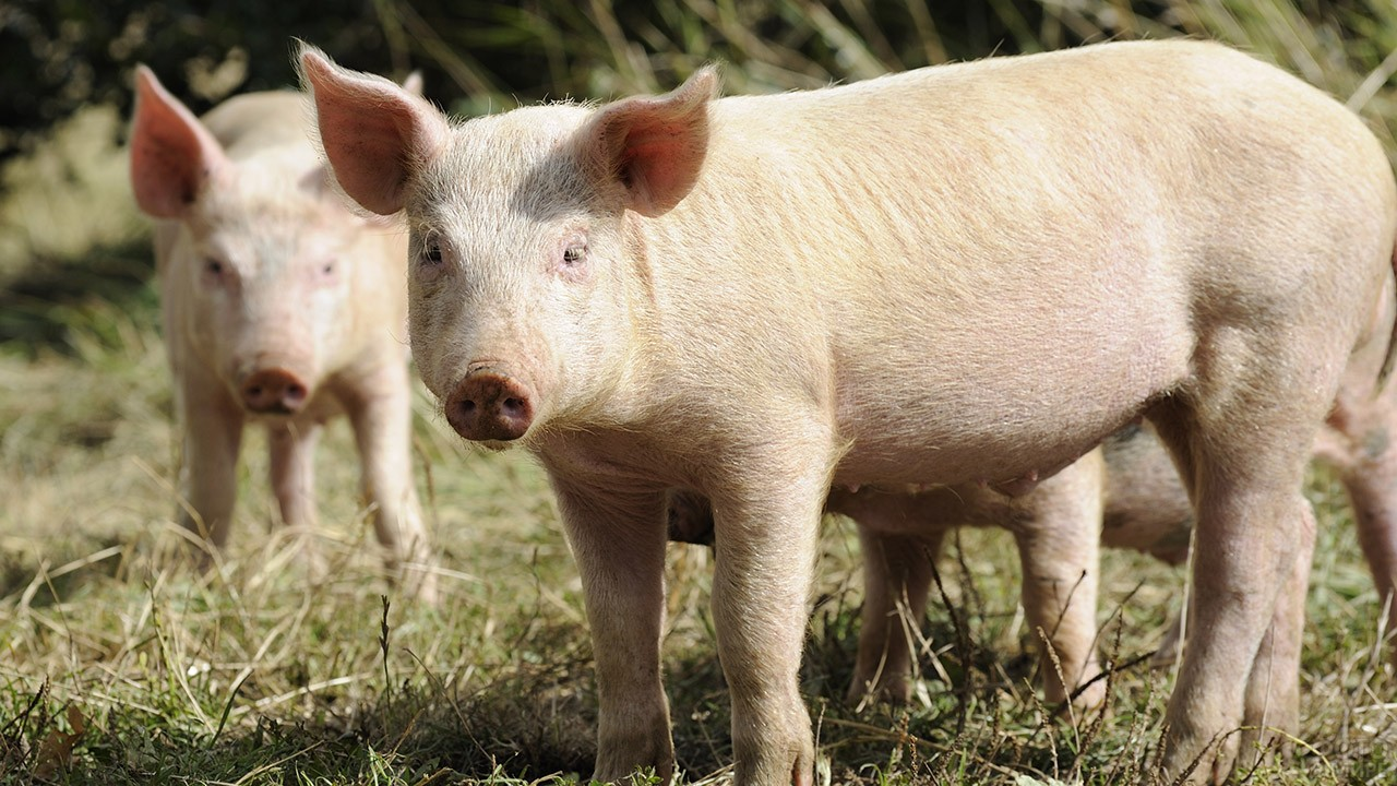 Молодые свинки на выпасе