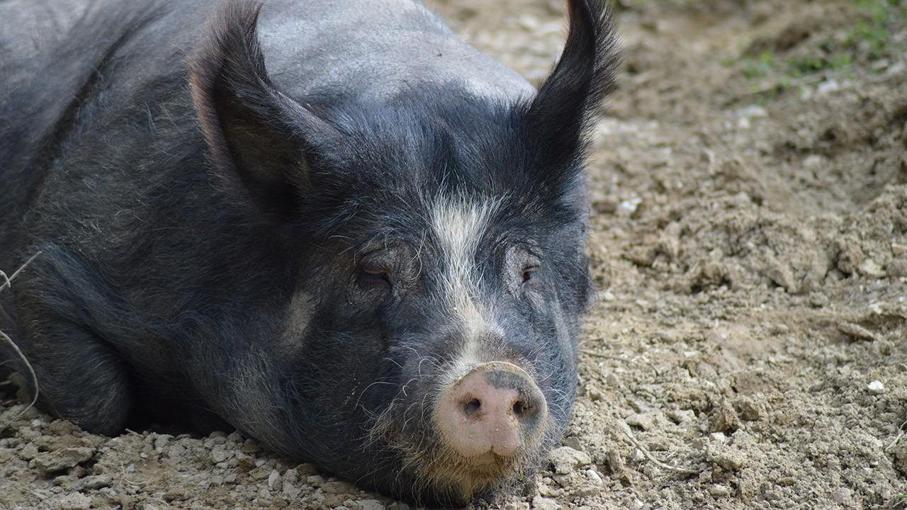 Морда чёрной свиньи с розовым пятачком