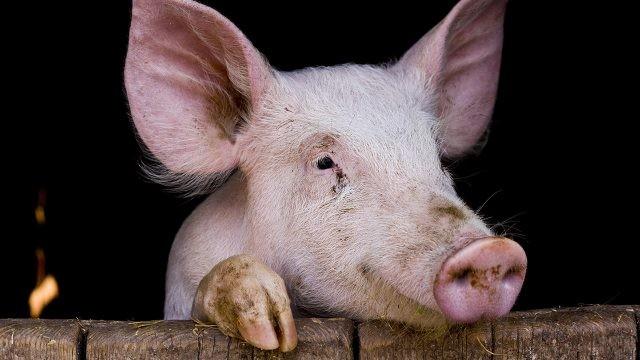 Морда свиньи над забором