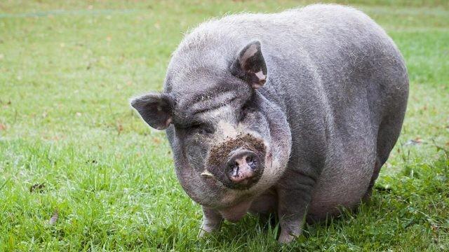 Огромная вьетнамская вислобрюхая свинья