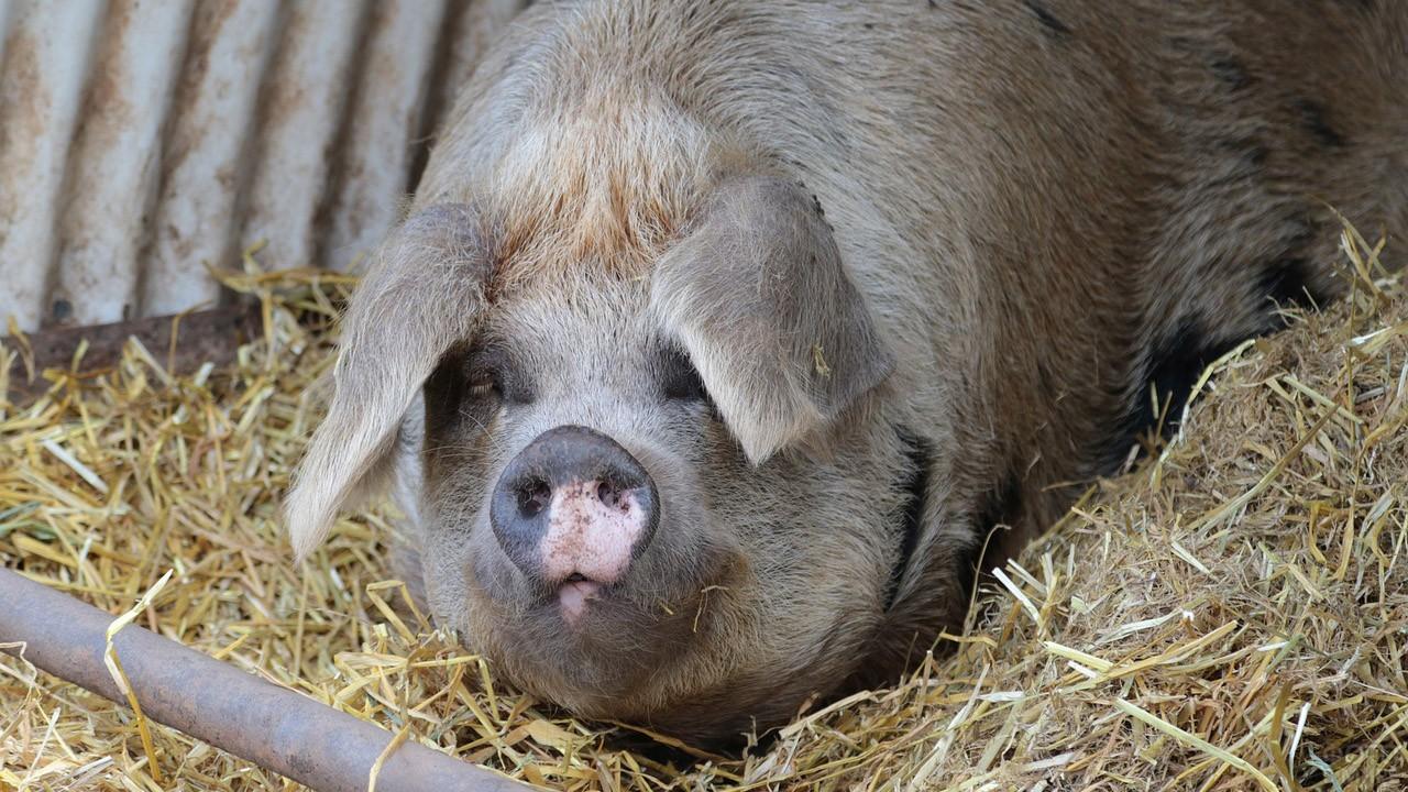 Огромная вислоухая жесткошёрстная свинья