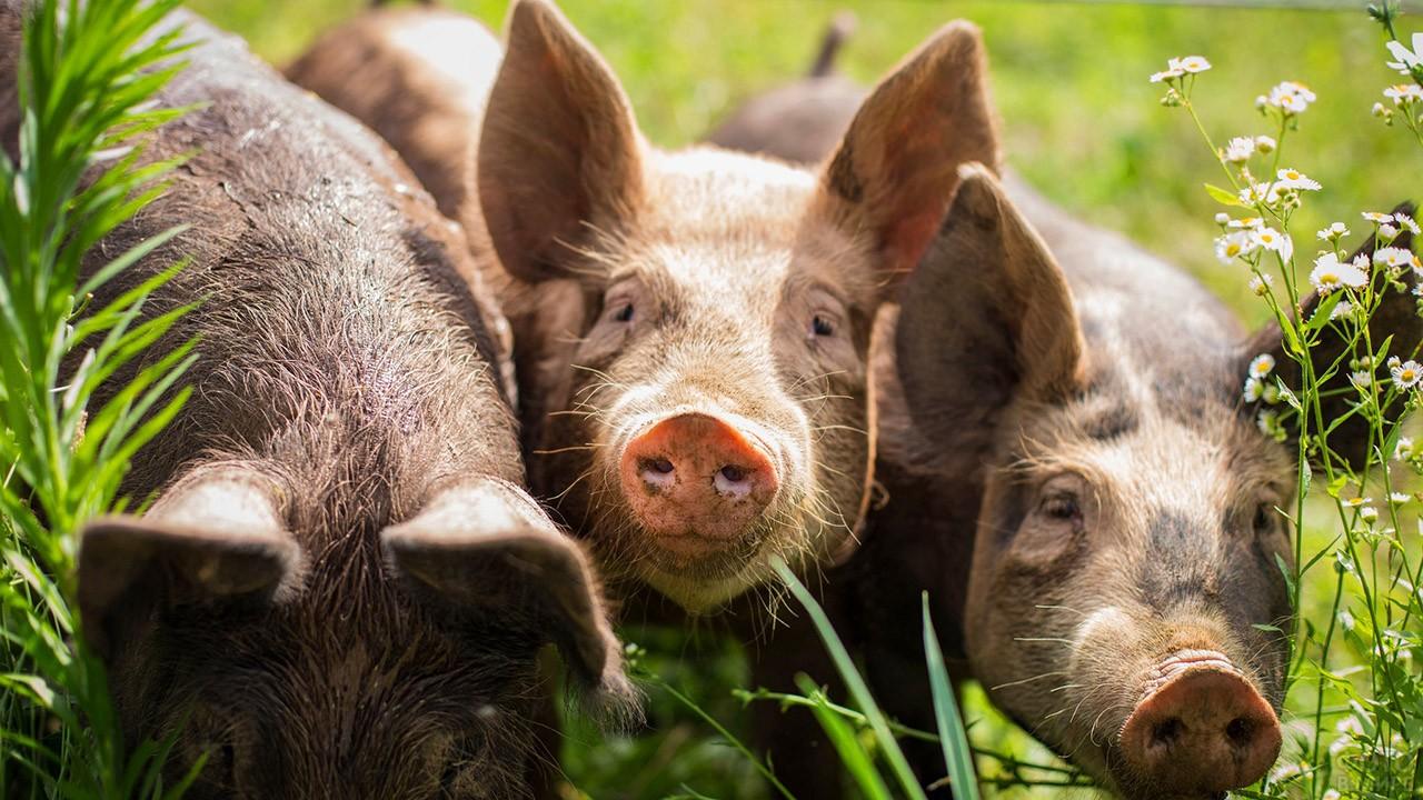 Перепачканные свиньи среди летней травы