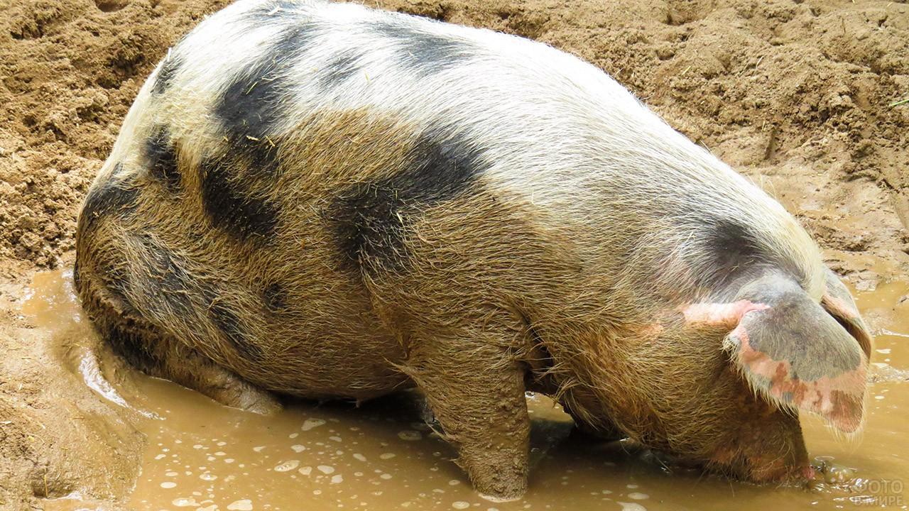 Пятнистая свинья в луже