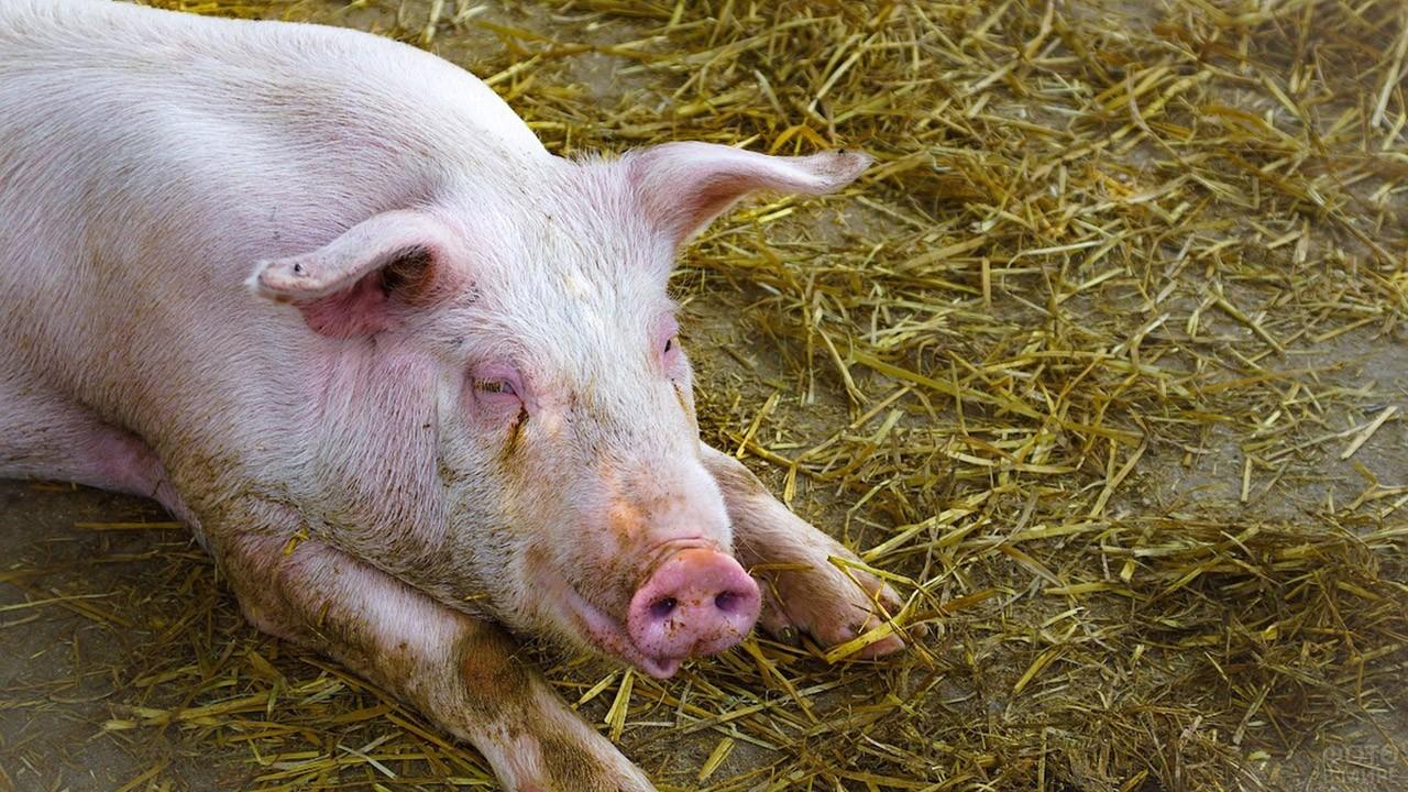 Розовая свинья валяется на соломе