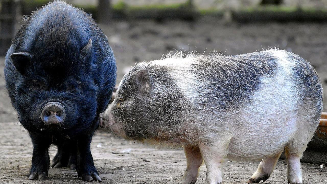 Щетинистые вислобрюхие свинки