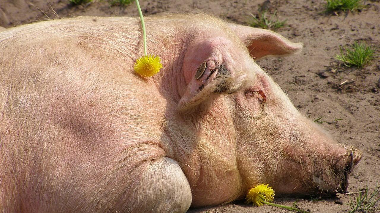 Спящая свинья с одуванчиками