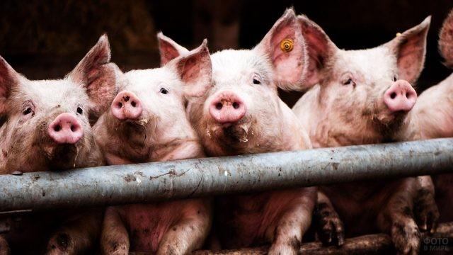 Стадо свиней в загоне