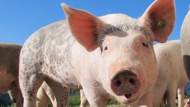 Свин с пятнистыми боками