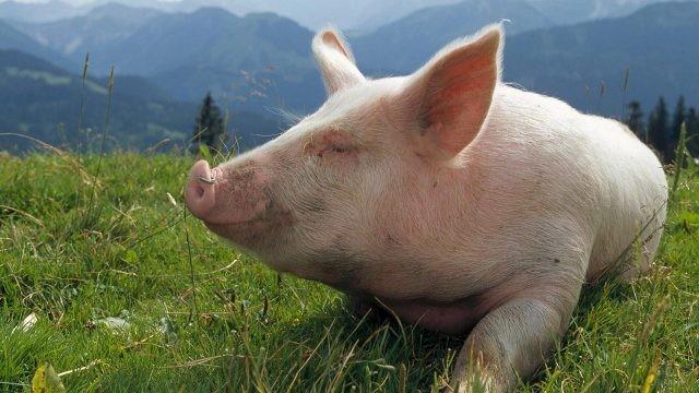 Свинья на альпийском лугу