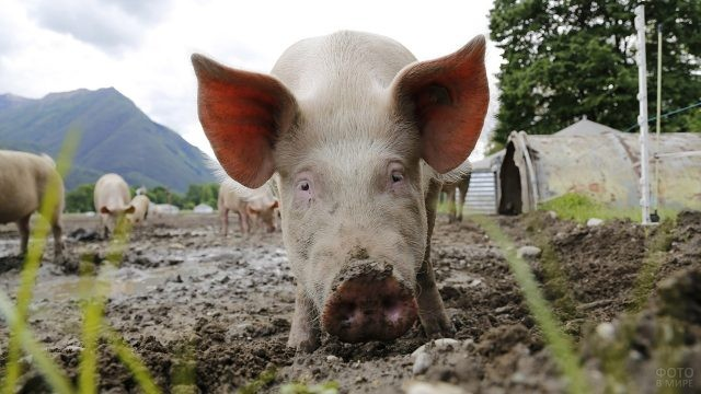 Свинья роет грязь пятачком