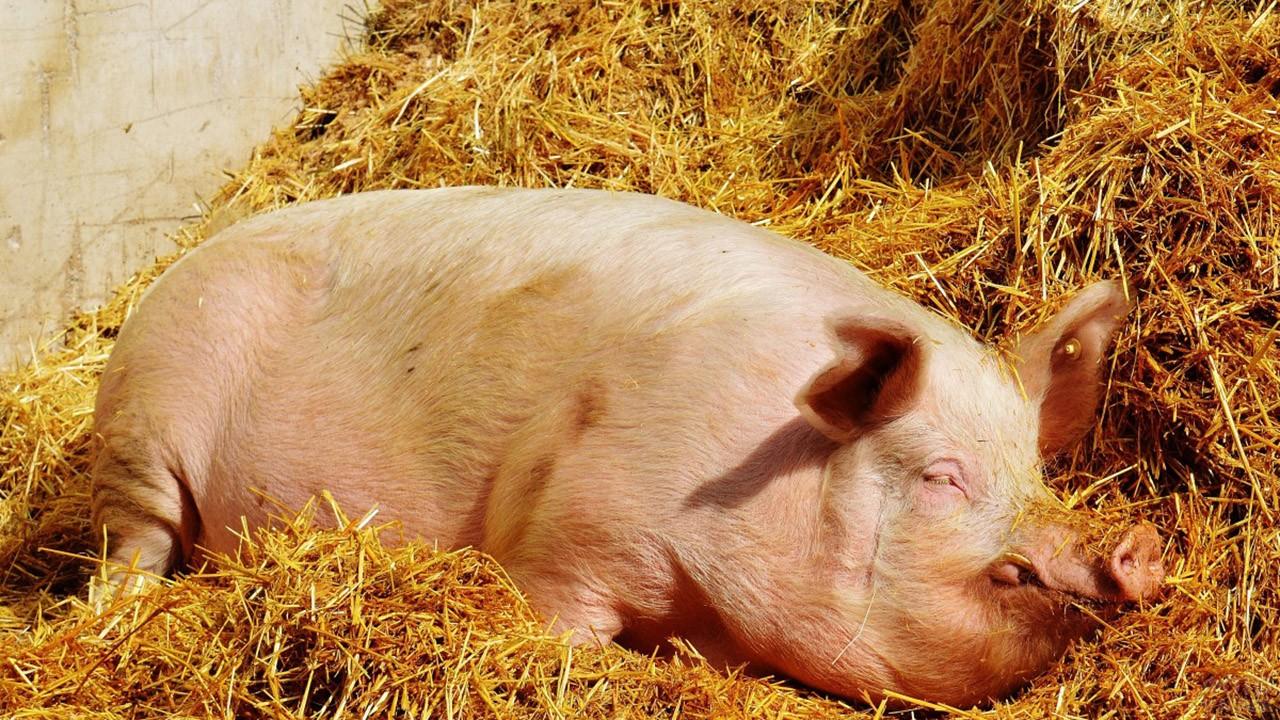 Свинья спит на соломе