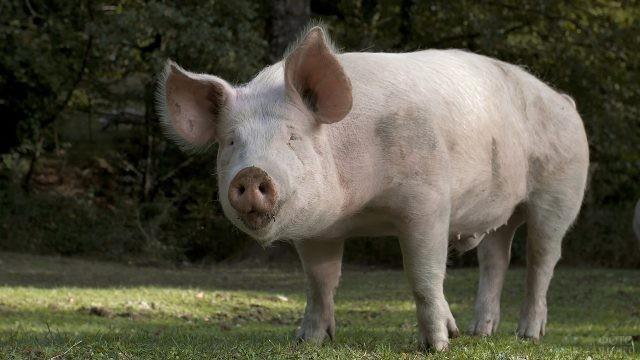 Свиноматка на летней лужайке