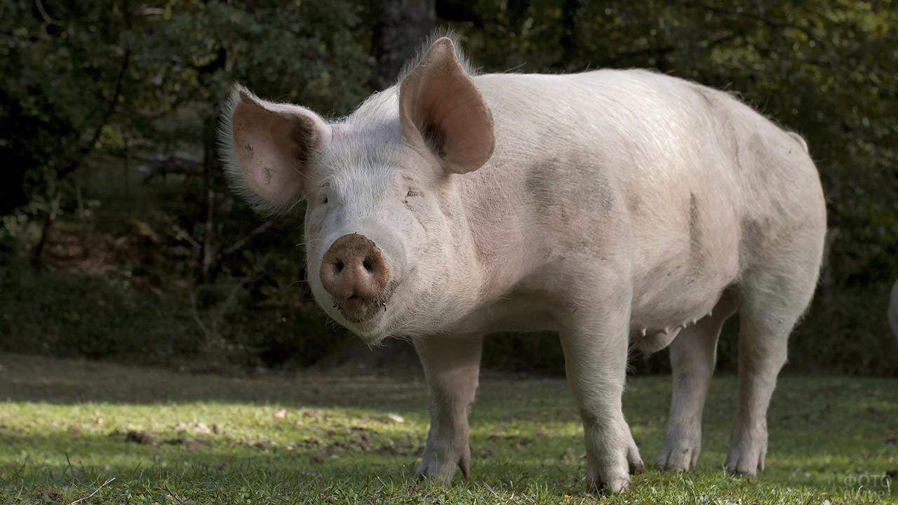 домашние свиньи фото большинство таких подружек