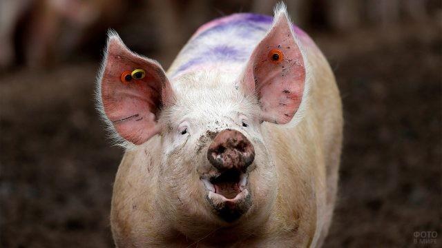 Удивлённая свинка с чипированными ушами