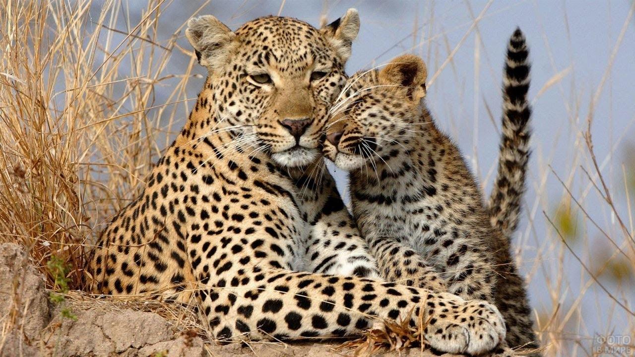 Детёныш леопарда прижался к маме