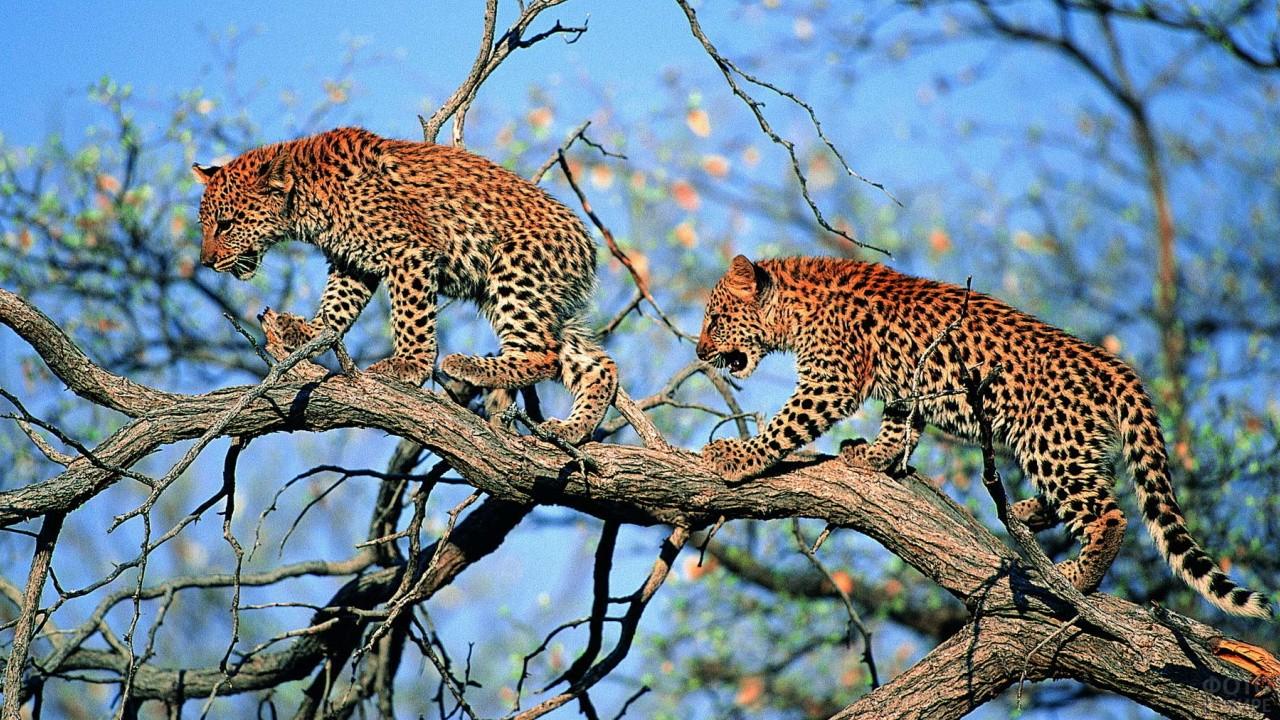 Два леопарда идут по стволу