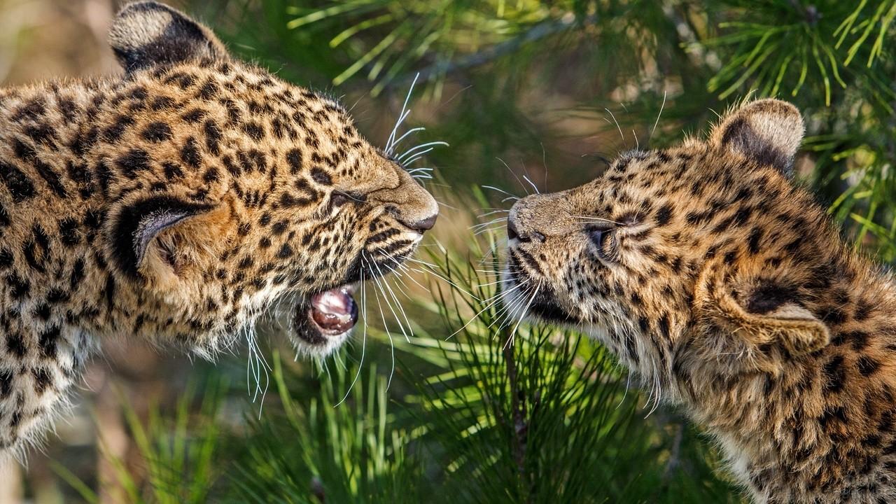 Два леопарда смотрят друг на друга