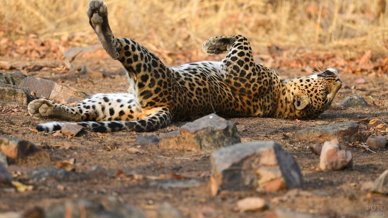 Леопард лежит на спине