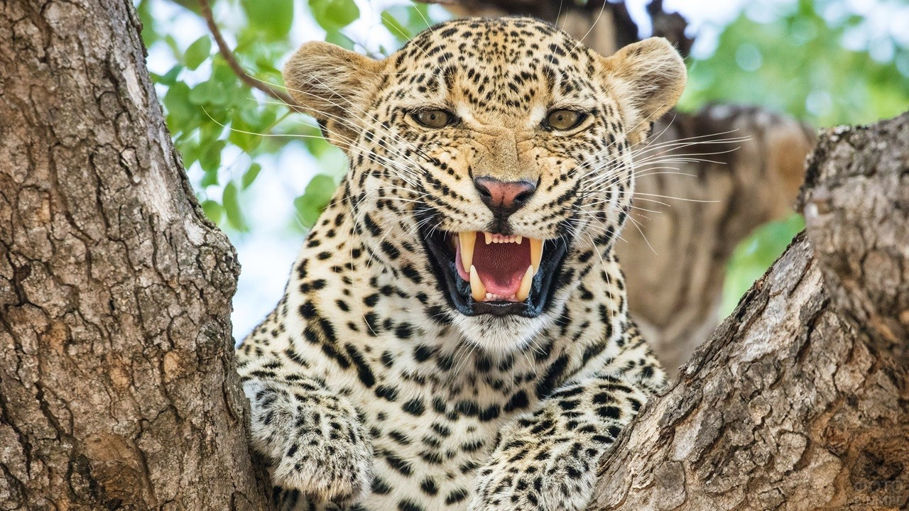 Леопард морщит нос
