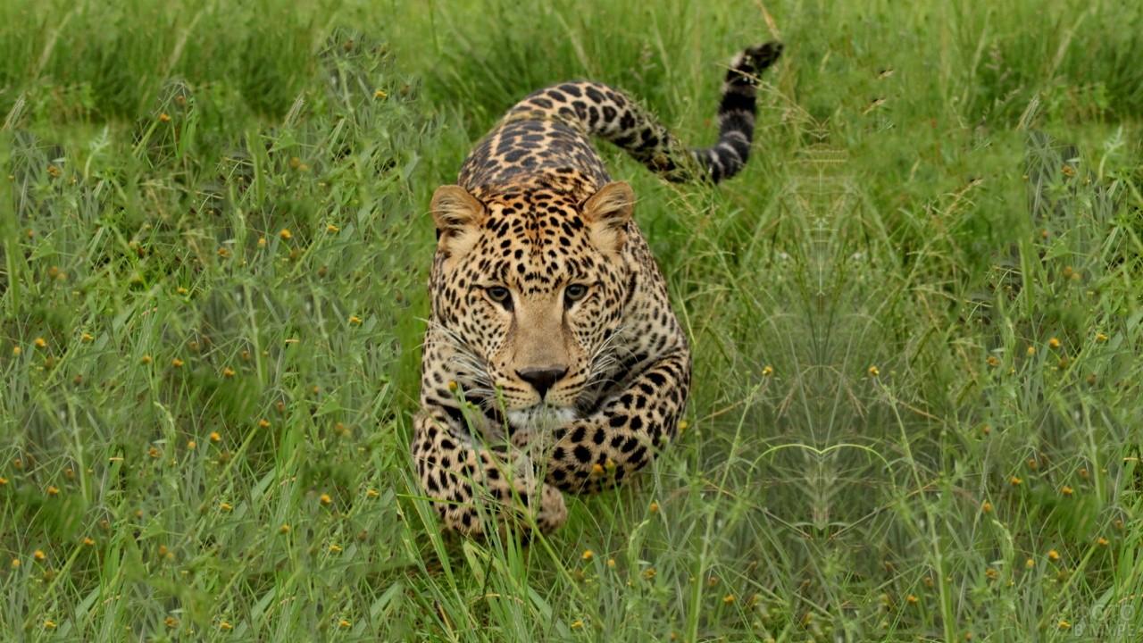 Леопард в прыжке