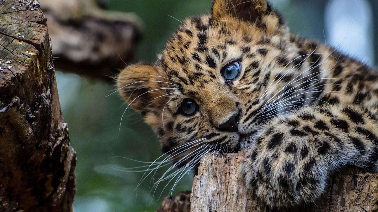 Малыш леопард на пне