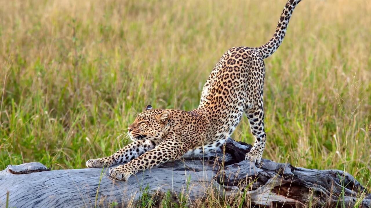 Молодой леопард потягивается на бревне