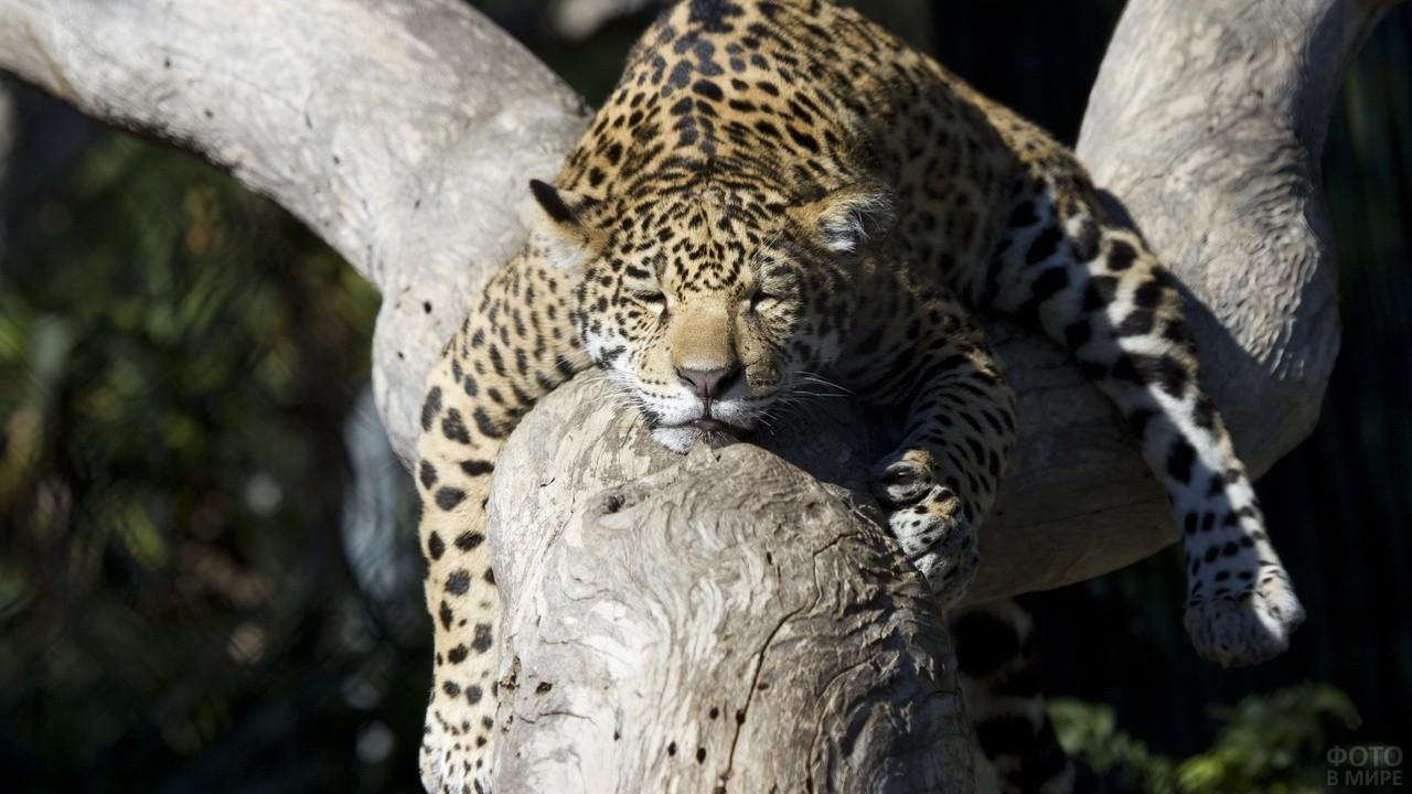 Молодой леопард спит на дереве