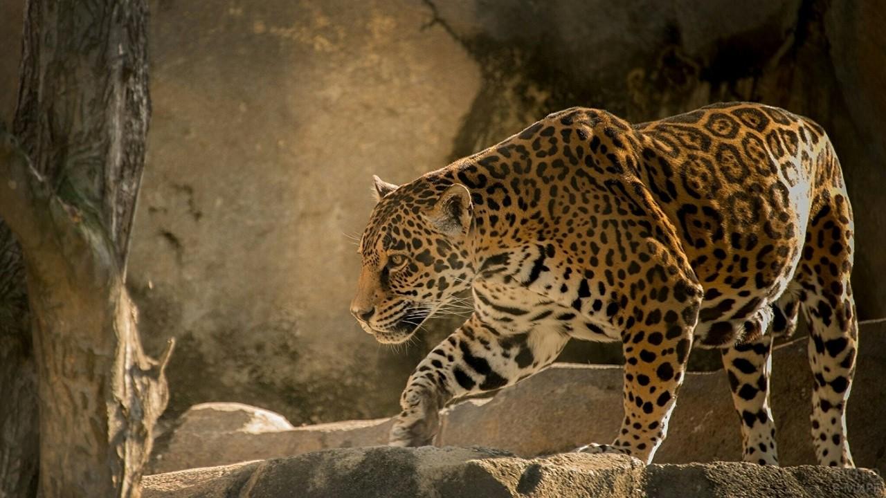 Пятнистый леопард идёт по камням
