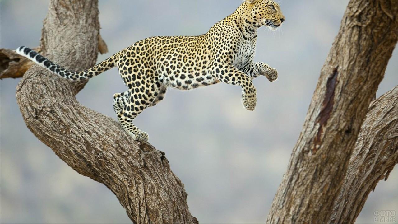 Пятнистый леопард перепрыгивает на другой ствол