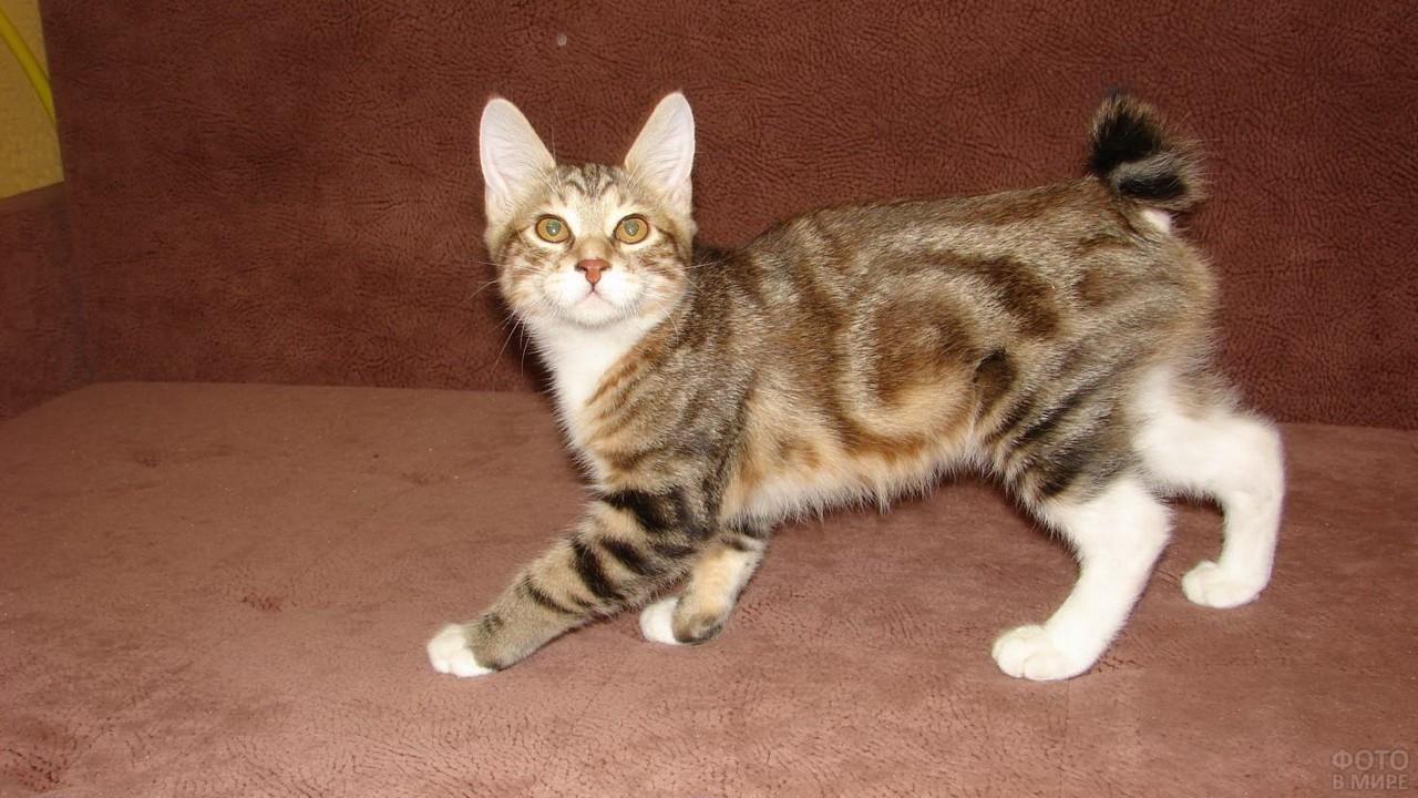 Бело-коричневый котёнок на диване