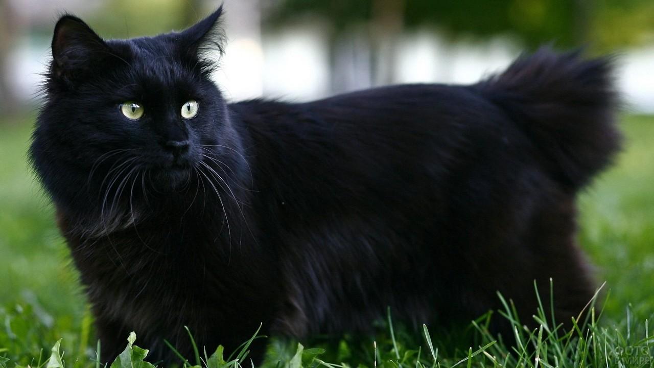 Чёрный кот в траве
