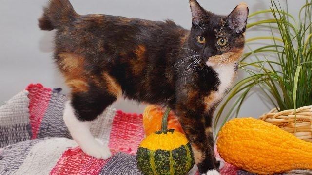 Гладкошёрстная кошка рядом с тыквами