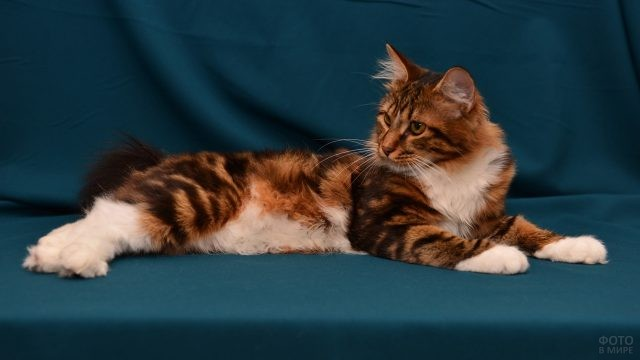 Кошка на фоне цвета морской волны