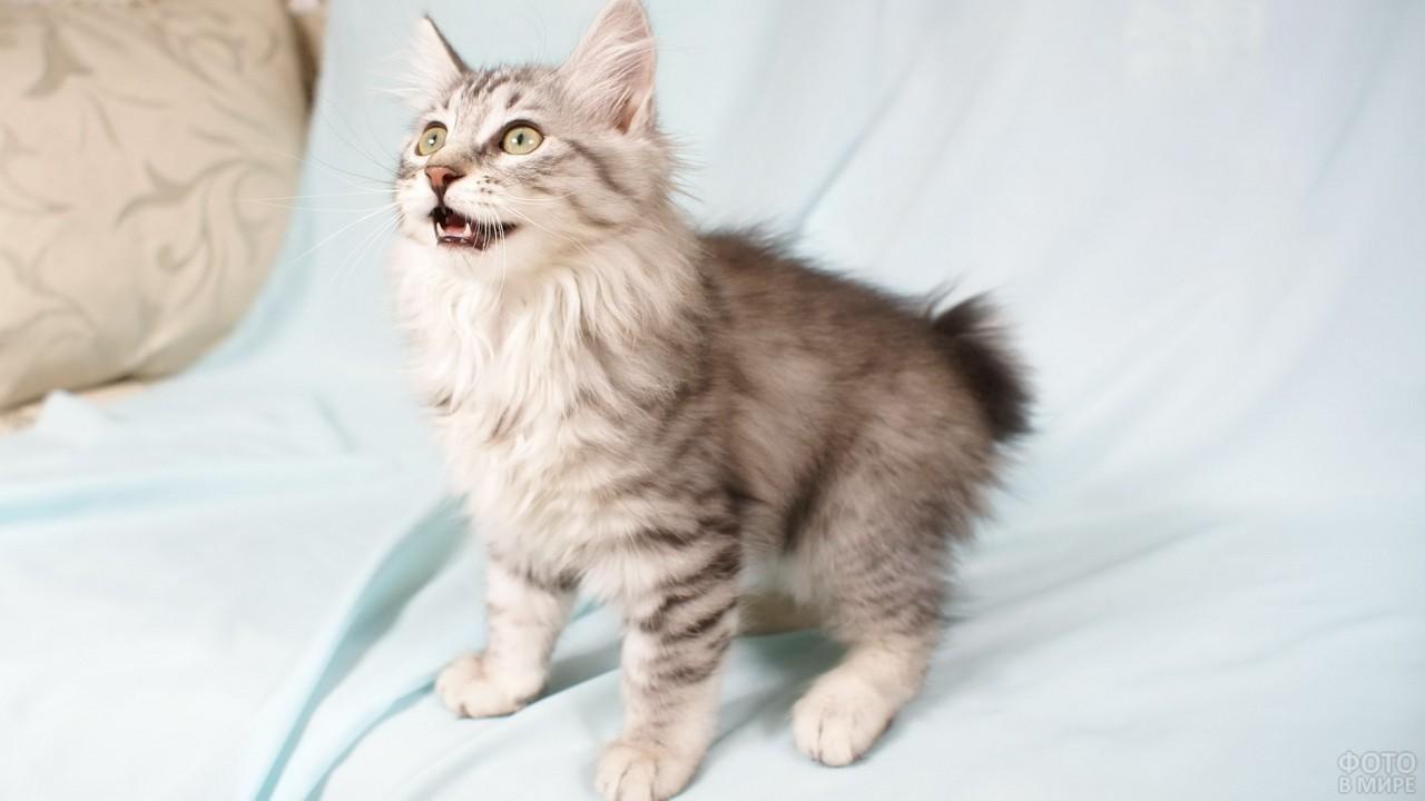 Полосатый котёнок мяукает на постели