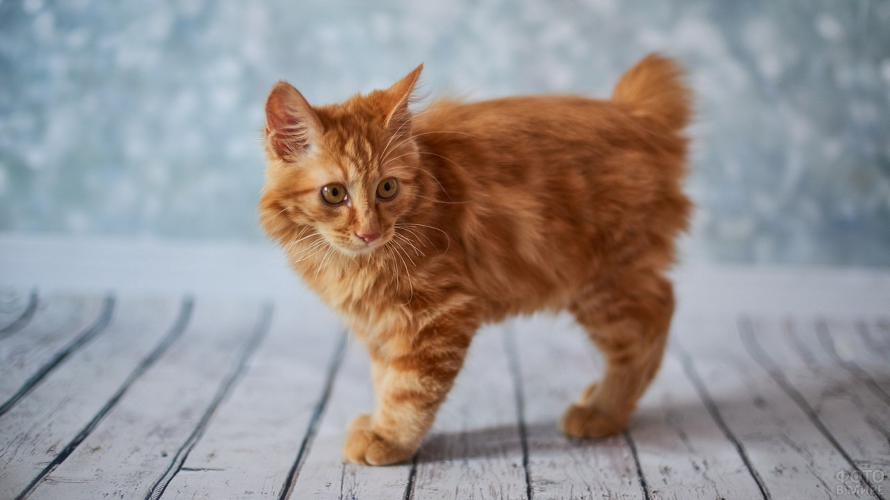 Рыжий котёнок бобтейла на полу