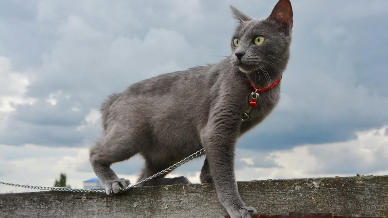 Серая кошка на заборе на цепочке