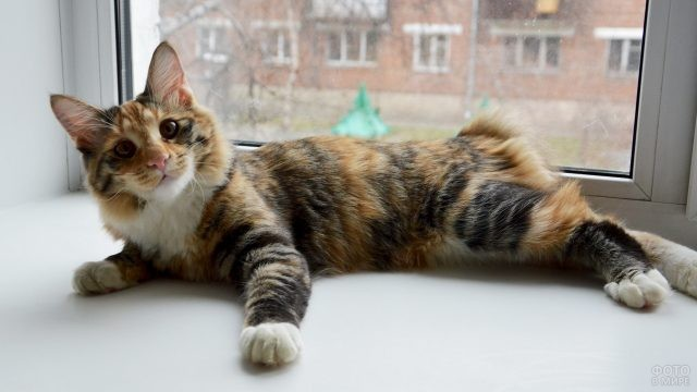 Трёхцветная кошка на подоконнике