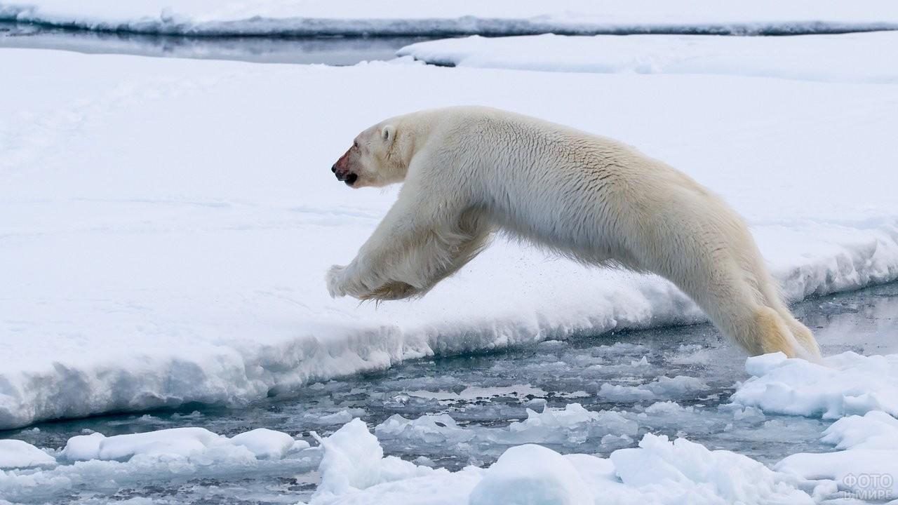 Белый медведь перепрыгивает с льдины на льдину